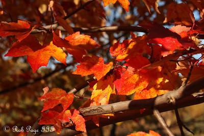 Fall colors -  Shenandoah NP, VA ... September 24, 2010 ... Photo by Rob Page III