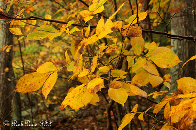 The nice fall colors - Shenandoah NP, VA ... October 17, 2009 ... Photo by Rob Page III