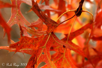 A red oak leaf under a light dusting of snow - Shenandoah NP, VA ... October 18, 2009 ... Photo by Rob Page III
