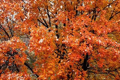 Fall colors - Shenandoah NP, VA ... October 18, 2009 ... Photo by Rob Page III