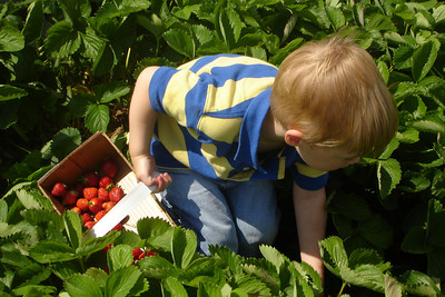 Michael picking (red, green, and mushy brown) strawberries - Richmond, VA ... May 19, 2007 ... Photo by Big Mike