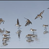 Western Sandpipers - Oregon