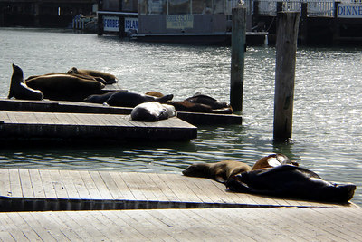 The Sea Lions - San Francisco, CA ... July 26, 2006 ... Photo by Rob Page III