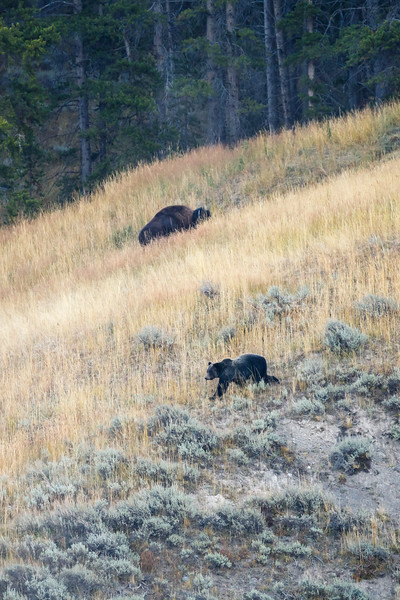 Yellowstone, Wildlife - Grizzly bear walking by a grazing bison