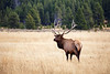 Yellowstone, Wildlife - Bull elk in field in autumn with head tilted towards camera