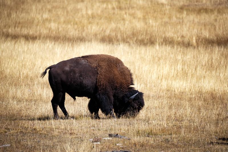 Yellowstone, Wildlife - Buffalo grazing in a golden field