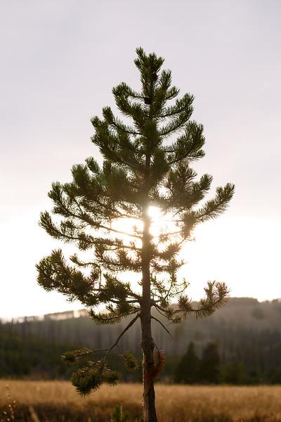 Yellowstone, Landscape - Lone ponderosa pine with setting sun behind it