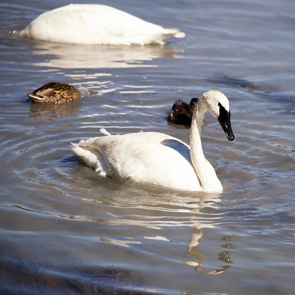Yellowstone, Wildlife - Swans in the Yellowstone River