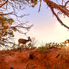 Sunrise Deer