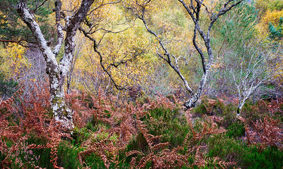 Where Birch and Bracken Sing and Sway