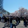 Cherry Blossoms - Washington DC