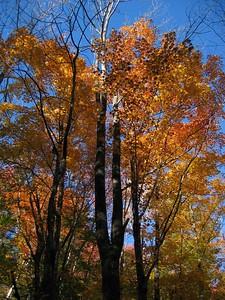 Firey tree