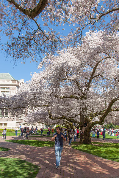 University of Washington Cherry Trees 218