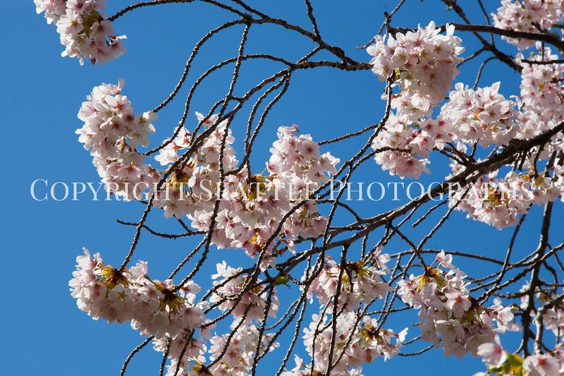UW Cherry Blossoms 108