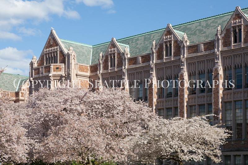 UW Cherry Blossoms 182