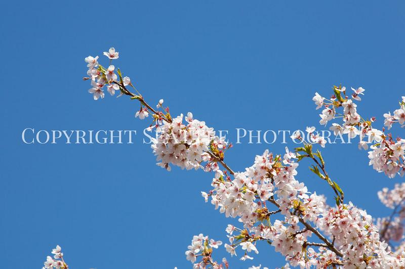 UW Cherry Blossoms 152