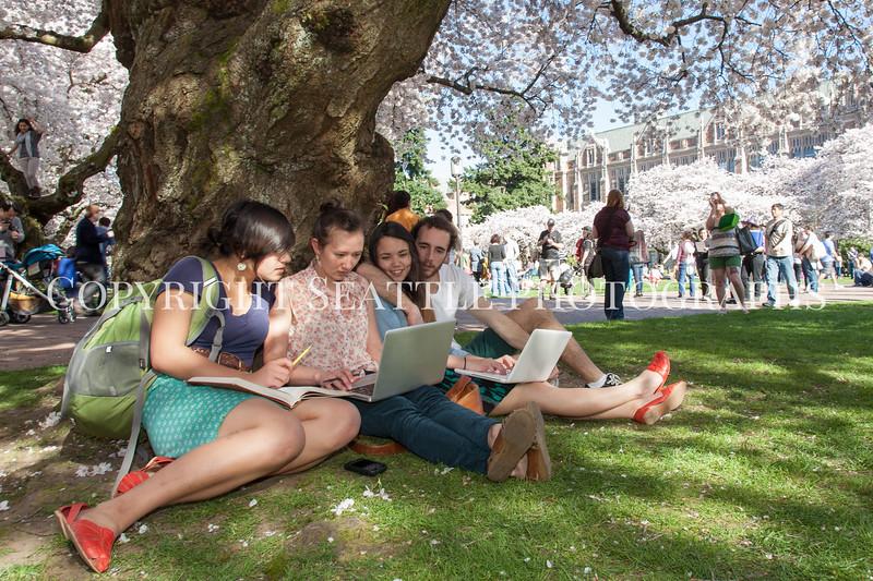 University of Washington Cherry Trees 176