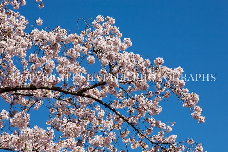 UW Cherry Blossoms 107