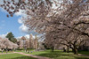 University of Washington Cherry Trees 150
