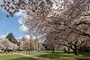 University of Washington Cherry Trees 150