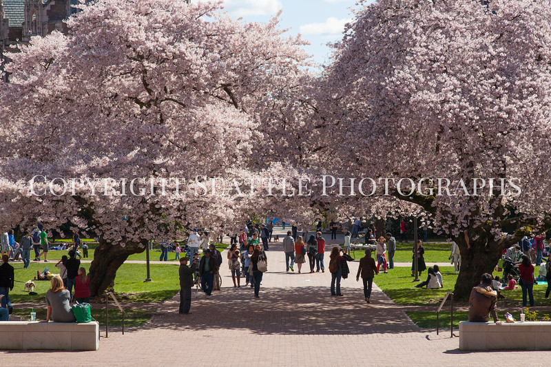 UW Cherry Blossoms 126