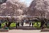 UW Cherry Blossoms 126