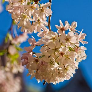 The Quad's cherry blossoms, UW
