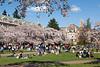 UW Cherry Blossoms 160