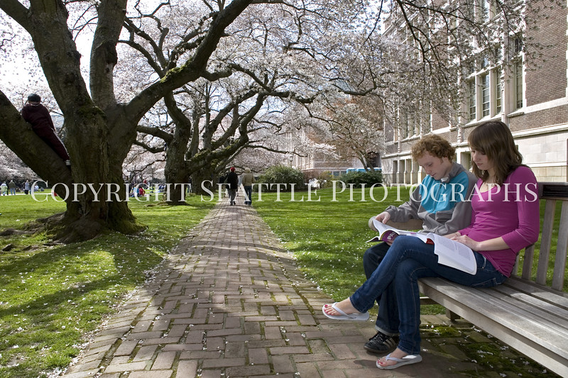 University of Washington Cherry Trees 251