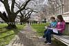 University of Washington Cherry Trees 251