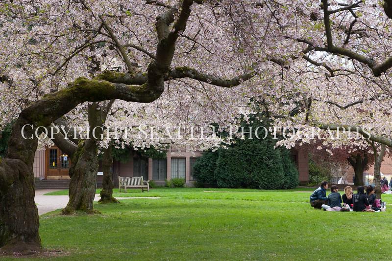 University of Washington Cherry Trees 155