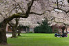 University of Washington Cherry Trees 155