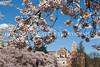 UW Cherry Blossoms 161