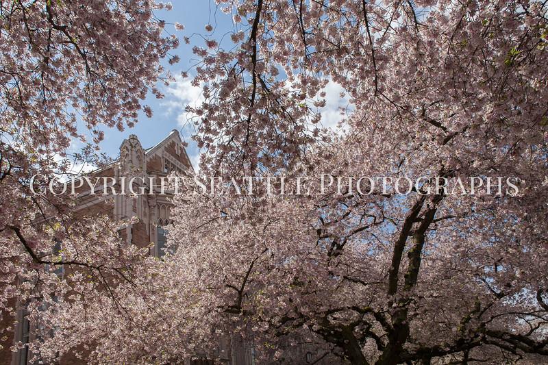 University of Washington Cherry Trees 151