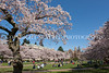UW Cherry Blossoms 105