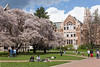 University of Washington Cherry Trees 156
