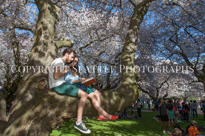 University of Washington Cherry Trees 179