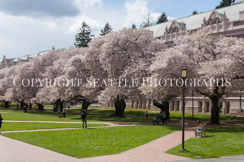 University of Washington Cherry Trees 158