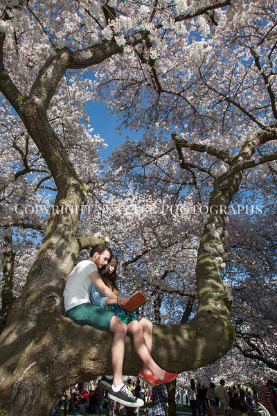 University of Washington Cherry Trees 187