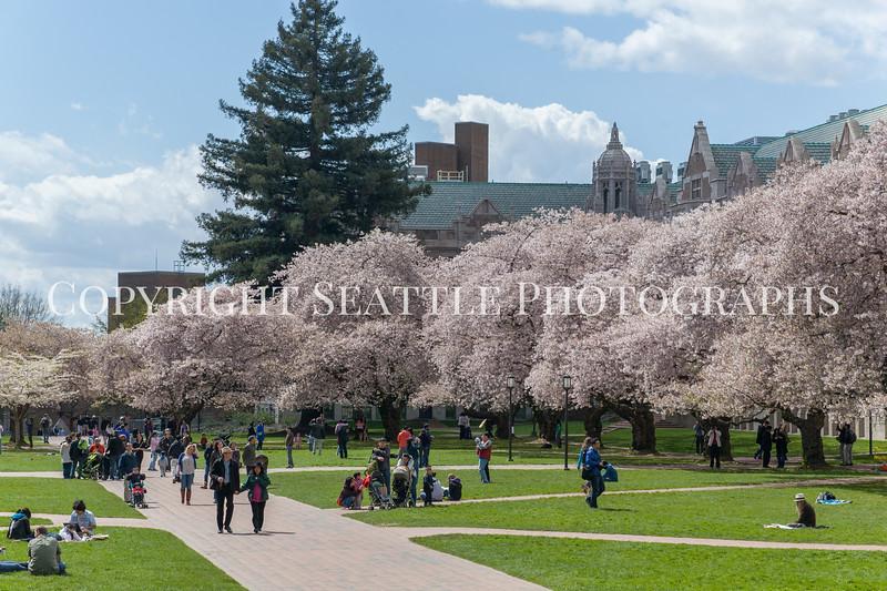University of Washington Cherry Trees 154