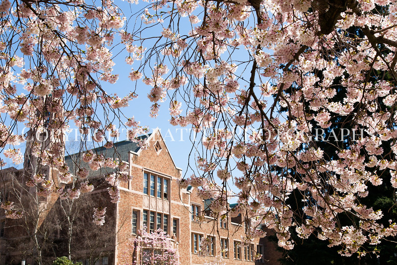 UW Cherry Blossoms 130