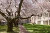 UW Cherry Blossoms 122