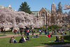 UW Cherry Blossoms 106