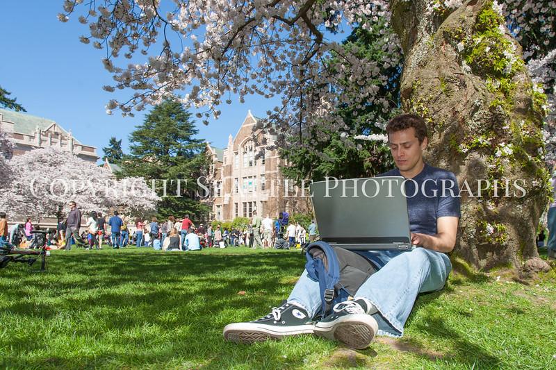 University of Washington Cherry Trees 208