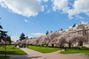 University of Washington Cherry Trees 152