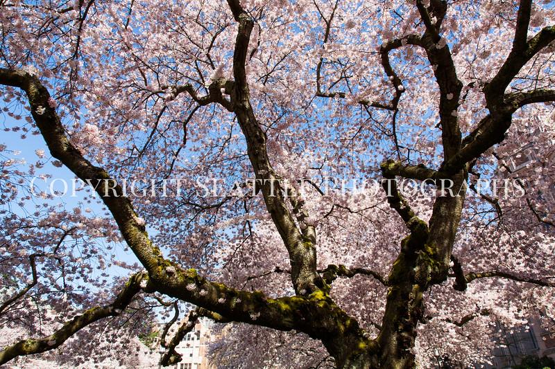 UW Cherry Blossoms 155