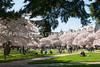 UW Cherry Blossoms 136
