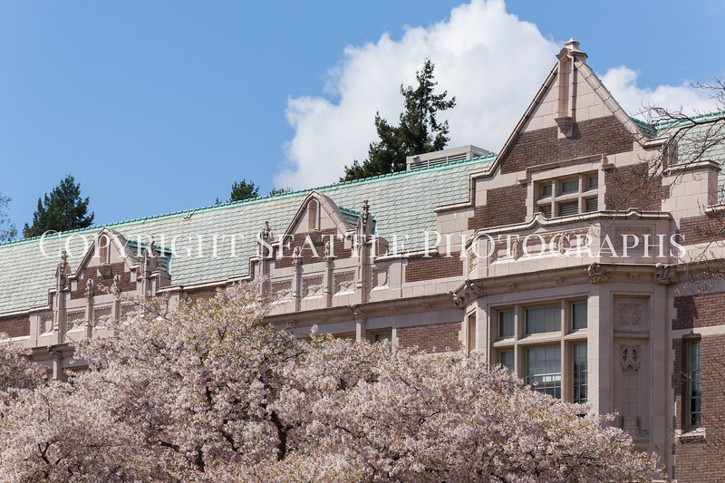 University of Washington Cherry Trees 153