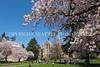 UW Cherry Blossoms 100