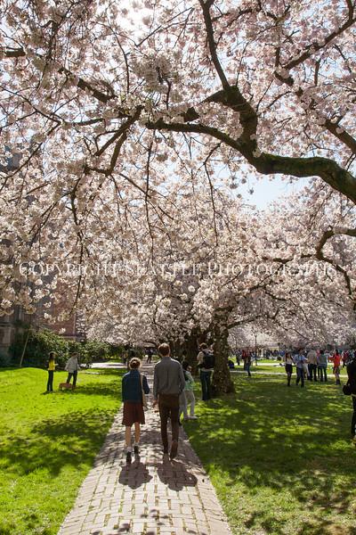 UW Cherry Blossoms 175